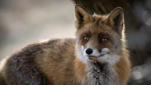Wild red fox can help monitor antibiotic resistance in the environment: study