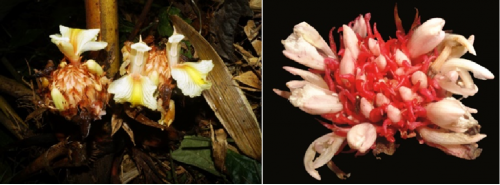 Kerala botanists discover 2 new ginger species in Arunachal