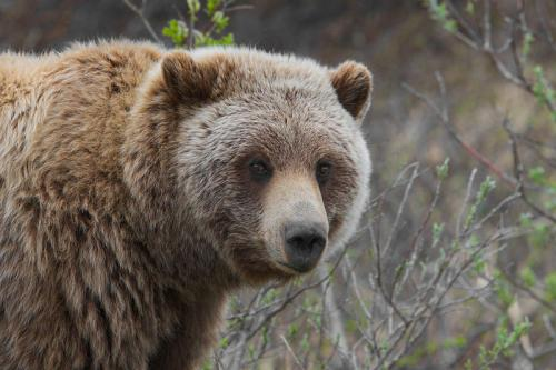 Roads in Canada can affect grizzly bear habitats: study