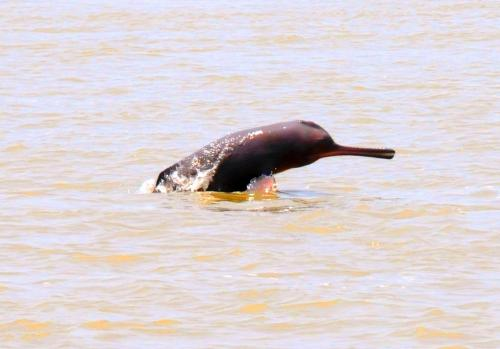 Dolphin population declines in India's only dolphin sanctuary