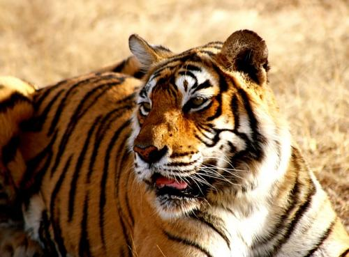 To conserve tigers, 2 villages in Jharkhand to be relocated
