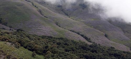 Neelakurinji: Blue bloom in a blue moon