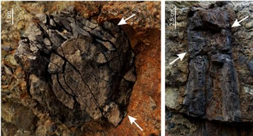 Kargil fossil unravels climatic conditions of early Himalayas