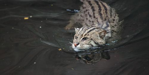 India's only wetland cat is under multiple threats