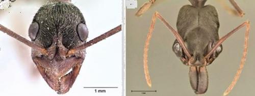 वैज्ञानिकों ने चींटियों के संयुक्त नेत्रों की संरचनात्मक विशेषताओं का पता लगाया
