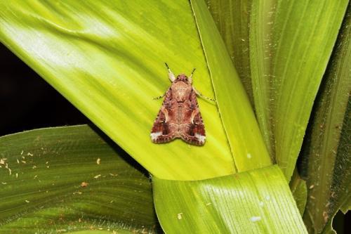 फसलों के लिए खतरा बन रहा है नया प्रवासी कीट