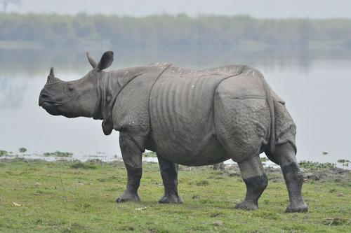 The Great One-Horned Rhino in Kaziranga National Park, Assam     Credit: Wikimedia Commons