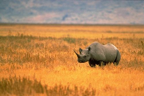 A Black Rhino   Credit: Wikimedia Commons