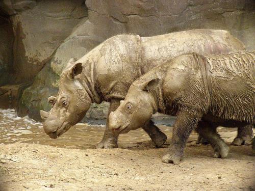 Sumatran Rhinos      Credit: Wikimedia Commons
