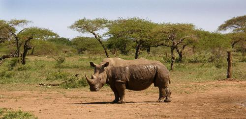 A White Rhino     Credit: Wikimedia Commons