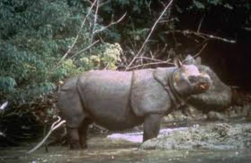 Javan Rhino         Credit: Wikimedia Commons