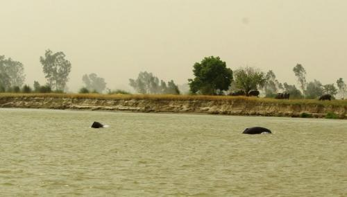 'In a world in which wildlife is so threatened, the Indus dolphin is a rare good news story'