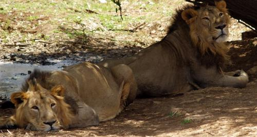 'Those who have endangered the Asiatic Lion's future, have to be held accountable'