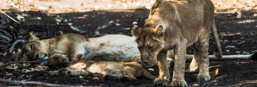 Not just virus, tourism and staff crunch also kill Gir lions