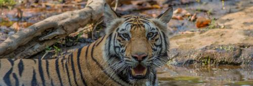 Shoddy translocation of tiger Sundari leads to bloodshed