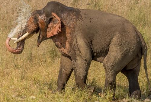 Elephant found dead in Odisha's Angul, tusks missing