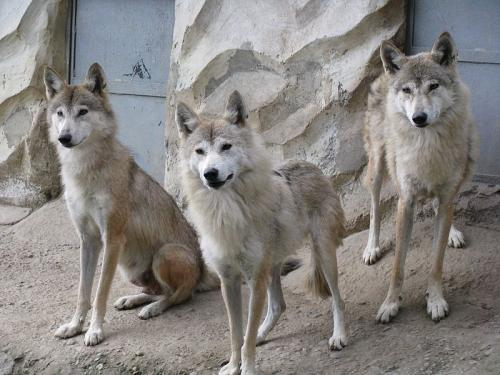 New study adds to calls for formal recognition of Himalayan wolf