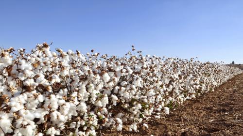 Buttermilk-based bioformulation helps in cotton disease control