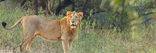 Lion attack in safari park near Gir, one killed