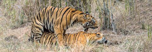 The sexual world of the tiger has been invisible to the world: Valmik Thapar