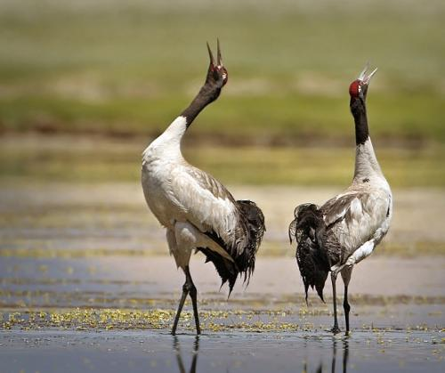 As black-necked cranes return to Tawang, expert says awareness key for survival