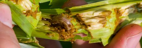 Fall Armyworm detected on sugarcane crops in Tamil Nadu