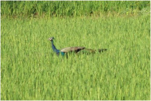 Researchers quantify damage caused by peafowl to farmers