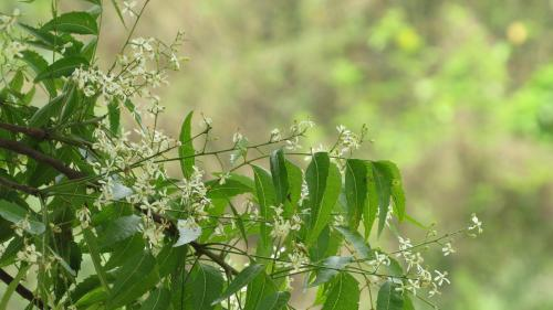 Findings reveal how neem cells produce useful chemicals