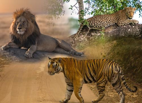 African lions attack humans over larger areas than Indian leopards, tigers: study