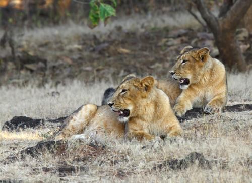 Three Asiatic lions mowed down by goods train in Gujarat