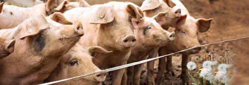 Pork industry cautious but not worried about African swine fever yet