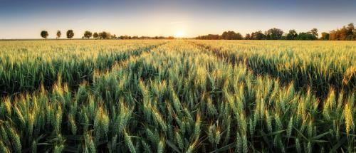 European wheat not prepared for climate change