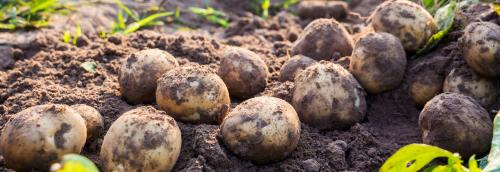 Why potato means bad news in Punjab now