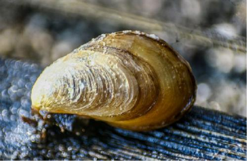 DNA test suggests mussel pest on Cochin coast to be invasive foreigner