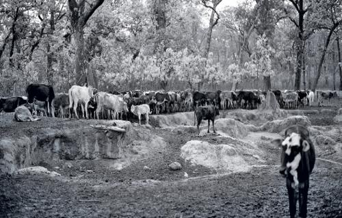 India's cow crisis: A rebuttal to Sunita Narain