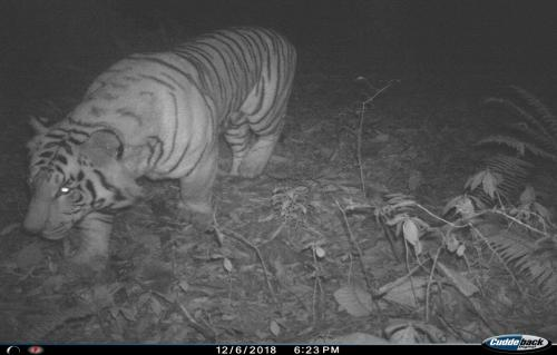 In a first, tiger spotted at 9,500 feet in Sikkim