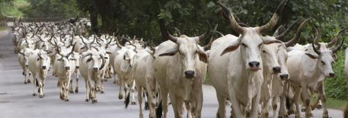India's Cow Crisis Part 5: Penalty for abandoning cattle final nail in coffin