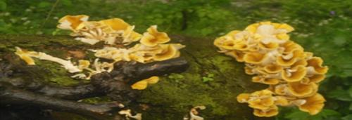 Mushroom-growing Elm trees can empower Barot village communities