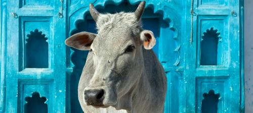 India's cow crisis: The full coverage