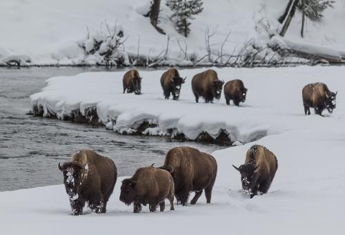 Yellowstone's solution to its excess bison problem: Capture and send them for slaughter