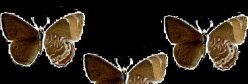 Small Woodbrown butterfly rediscovered in Sikkim after 120 years