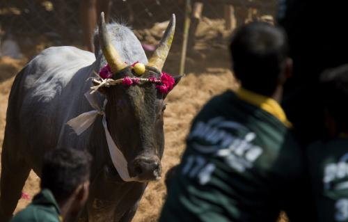Raging Bull: How the controversy over Jallikattu ended up saving the Pulikulam breed