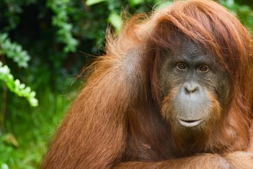 India's only orangutan seriously ill in Odisha's Nandankanan zoo