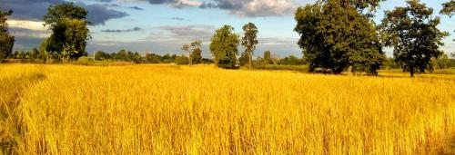 Why Bangladesh sees golden rice as a threat