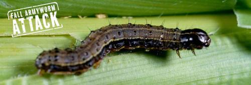 Fall Armyworm attack: Rwanda fights it back successfully