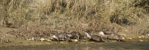 In a first, Uttar Pradesh begins otter census