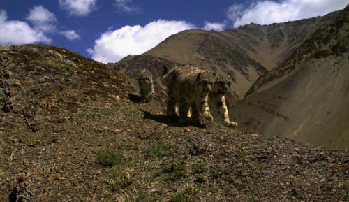 शोधकर्ताओं ने खोजा हिम तेंदुओं को बचाने का रास्ता