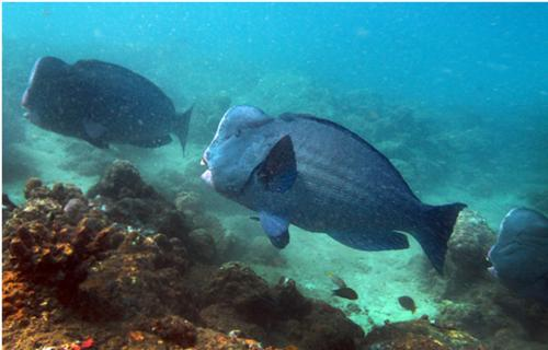 Fishing and coral reef degradation threaten parrotfish in Andaman