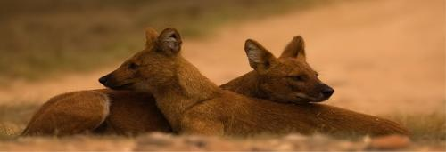 Are dhole packs in peril?