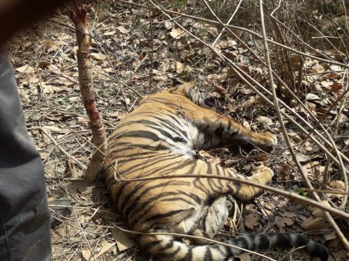शिकारियों के फंदे में फंसकर मरा बाघ